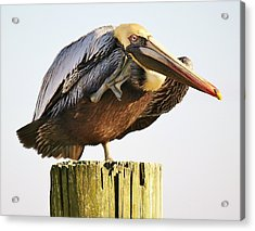 Pelican In Murrells Inlet Acrylic Print by Paulette Thomas