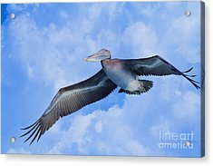 Pelican In The Clouds Acrylic Print
