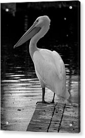 Pelican In The Dark Acrylic Print