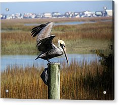 Pelican In The Marsh Acrylic Print by Paulette Thomas