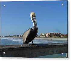 Pelican  Acrylic Print by Kay Gilley