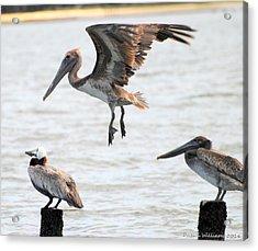 Pelican Landing Acrylic Print