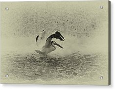 Pelican Landing In Black And White Acrylic Print by Thomas Young