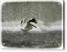 Pelican Landing In Color Acrylic Print by Thomas Young