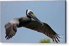 Pelican Liftoff Acrylic Print