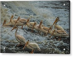 Pelican Lineup Acrylic Print by Paul Freidlund
