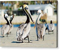 Pelican Looking At You Acrylic Print