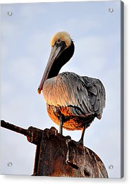 Pelican Looking Back Acrylic Print