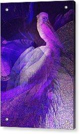Pelican Acrylic Print by Mimulux patricia no No