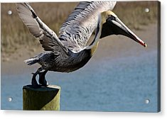Pelican On His Tip Toes Acrylic Print by Paulette Thomas