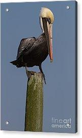 Pelican On Post IIi Acrylic Print
