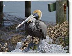 Pelican On Rocks Acrylic Print by Judith Morris