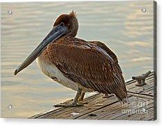 Pelican On The Dock Acrylic Print