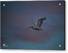 Pelican On The Wing Acrylic Print by Bill Roberts