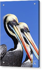 Pelican Perfection Acrylic Print by James Brunker