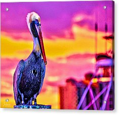 Pelican Pete Acrylic Print