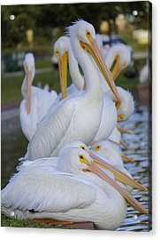 Pelican Pile Acrylic Print by Laurie Perry