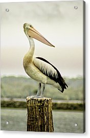 Pelican Poise Acrylic Print by Holly Kempe