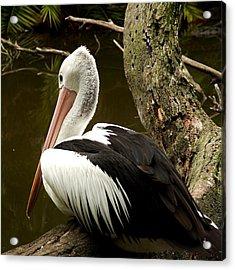 Pelican Poise Acrylic Print