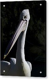 Pelican Portrait Acrylic Print by Graham Palmer