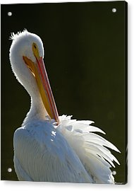 Acrylic Print featuring the photograph Pelican Preening by Avian Resources