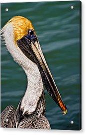 Pelican Profile No.40 Acrylic Print