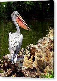 Pelican Proud #2 Acrylic Print