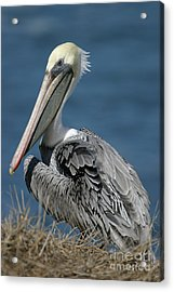 Pelican Acrylic Print by Russell Christie