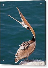 Acrylic Print featuring the photograph Pelican Stretch by Dale Nelson