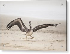 Pelican Strut Acrylic Print
