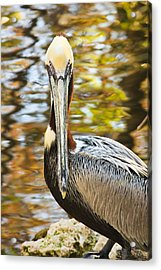 Acrylic Print featuring the photograph Pelican by Tammy Schneider