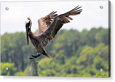 Pelican Touchdown Acrylic Print