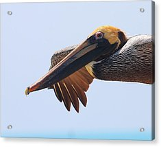 Pelican Up Close In Flight Acrylic Print by Jetson Nguyen