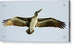 Pelican Wing Span Acrylic Print by Paulette Thomas