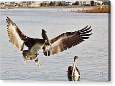 Pelican Wings Span Acrylic Print by Paulette Thomas