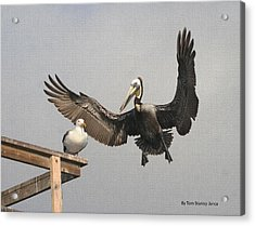 Pelican Wins Sea Gull Looses Acrylic Print by Tom Janca