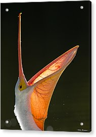 Acrylic Print featuring the photograph Pelican Yawn 2 by Avian Resources
