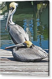 Pelicans At Rest Acrylic Print