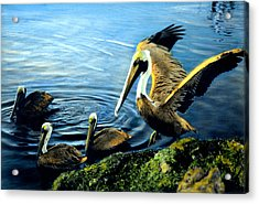 Pelicans Acrylic Print by Cindy McIntyre