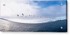 Pelicans Flying Over The Sea, Alcatraz Acrylic Print by Panoramic Images