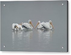 Pelicans In The Mist Acrylic Print