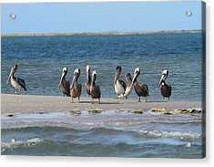 Pelicans Of Bird Island 7 Acrylic Print by Cathy Lindsey