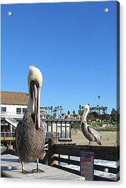 Pelicans On Pier Acrylic Print
