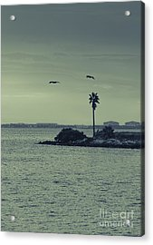 Pelicants And Palm Acrylic Print