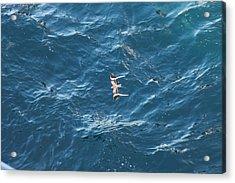 Penant Winged Nightjar 1 Acrylic Print by Gregory Daley  PPSA