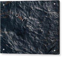 Penant Winged Nightjar 3 Acrylic Print by Gregory Daley  PPSA