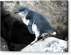 Acrylic Print featuring the photograph Penguin by Yew Kwang