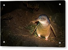 Penguins Acrylic Print by George Lim