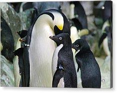 Penguins Acrylic Print by Pamela Schreckengost