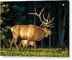 Pennsylvania Bull Elk Acrylic Print
